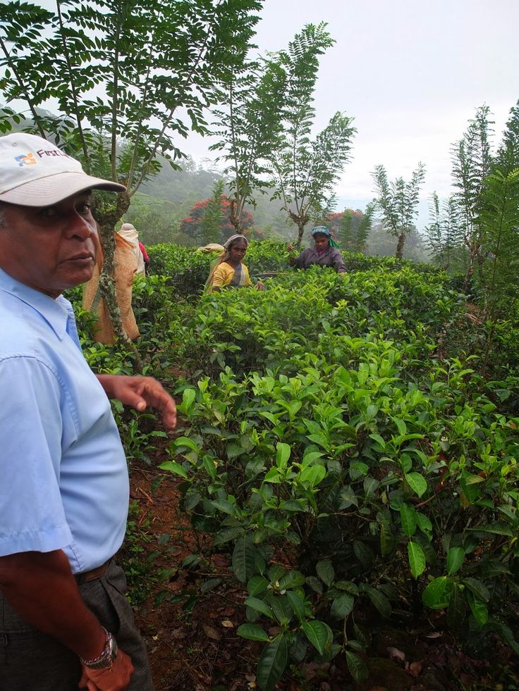 Terry's Tea, London's noted cup of tea since1982: The journey, Tea plantation and pickers.