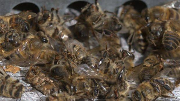 Des millions d'abeilles mortes à cause d'un insecticide anti-Zika aux Etats-Unis