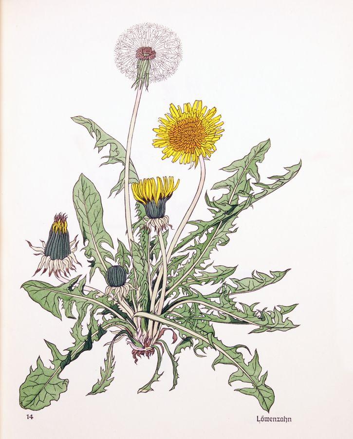 ботаническая открытка одуванчик лекарственный помещений выделена под