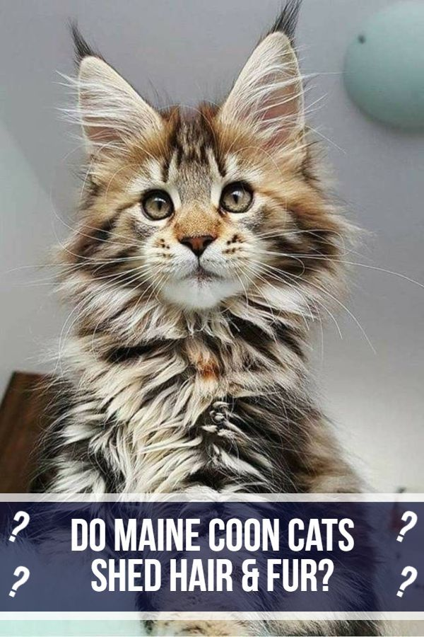 Pin On Maine Coon Cat Shedding