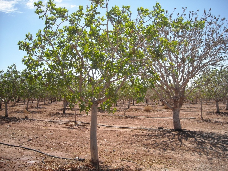 Pistachio Trees For Sale Feb. 11th - Pistachio Tree Ranch | Arena Blanca Winery