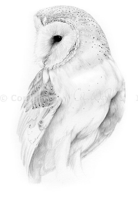 Barn owl - a pencil drawing by Colin Woolf
