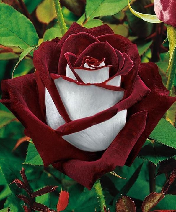 'Osiria' is a Hybrid Tea, or large-flowered bush rose with an upright habit, dark green leaves and, in summer and autumn, fragrant, double flowers with deep red inside the petals and silver-white on the outside of each petal. (Gotta have this rose bush)