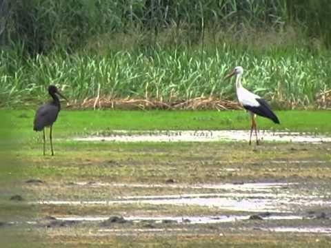 fehér és fekete gólyák