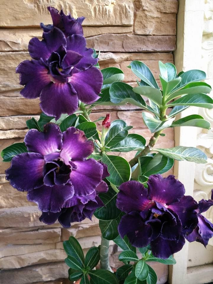 Adenium obesum [Desert Rose] - Triple Purple Aloha.                                                                                                                                                                                 Más