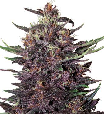 Buddha Purple Kush Variedad autofloreciente proveniente de los fértiles valles y laderas de la región Hindu Kush, nuestra variedad 100% morada y de rápida floración es la niña bonita de cualquier jardín tanto por su apasionante color morado, como por su olor único intenso y característico.