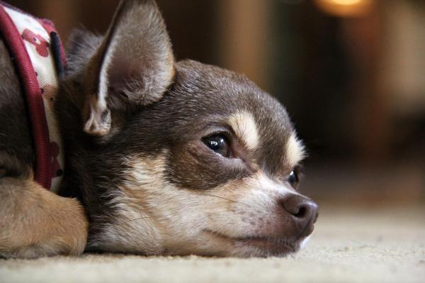 Síntomas de la anemia en perros