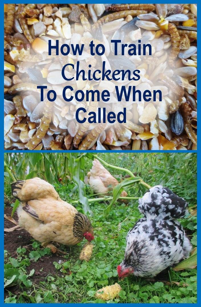 How to Train Chickens to Come When Called (and Why You Should) Also other great chicken articles