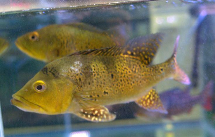 1000 images about cichlids on pinterest malawi cichlids for Blue bass fish