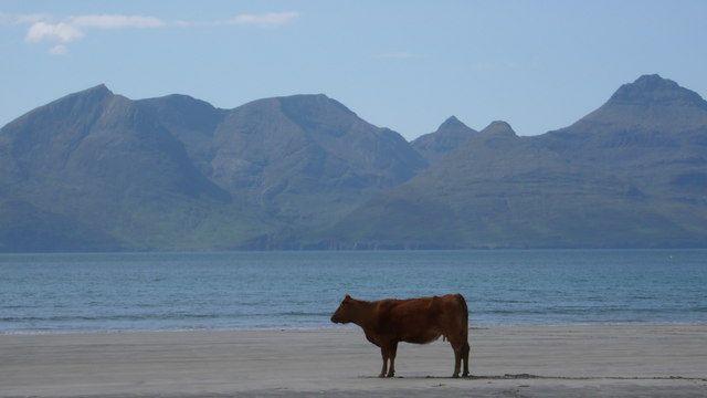 Fat cow on the beach