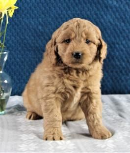 Mini Goldendoodle Puppies for Sale | Lancaster Puppies | Golden