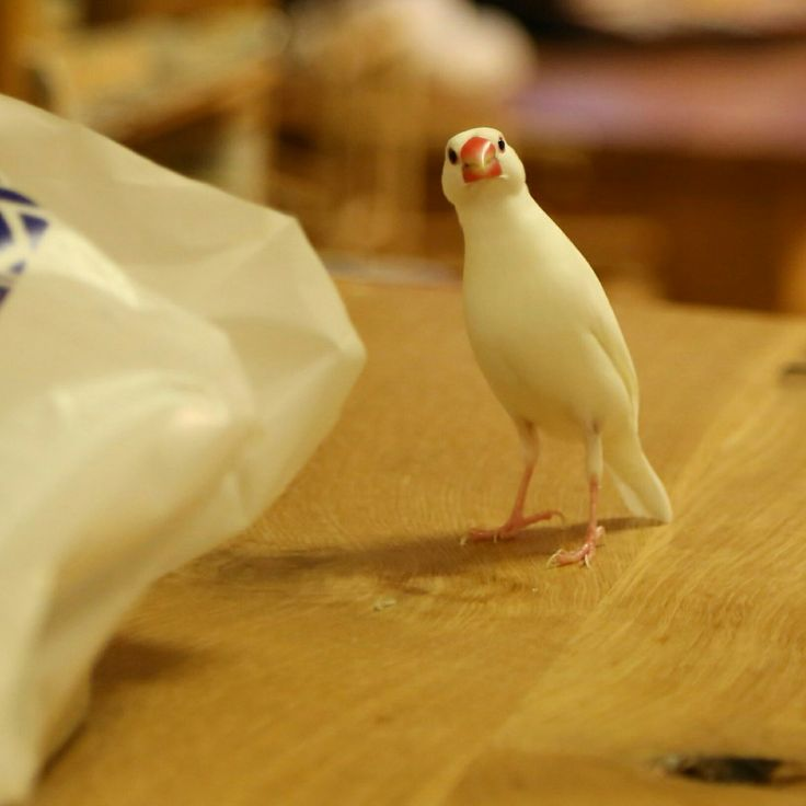 ハッシュタグ #のびる文鳥の日