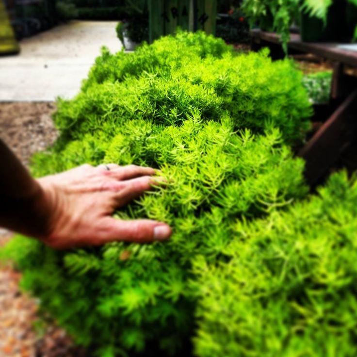 Lemon Coral Sedum at Dothan Nurseries | Dothan Nurseries ...