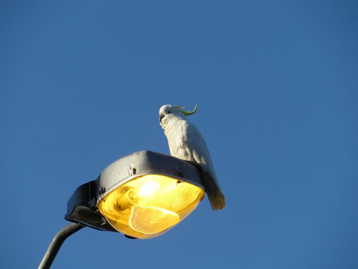 Cockatoo On Street Light by Tomislav Vucic on 500px
