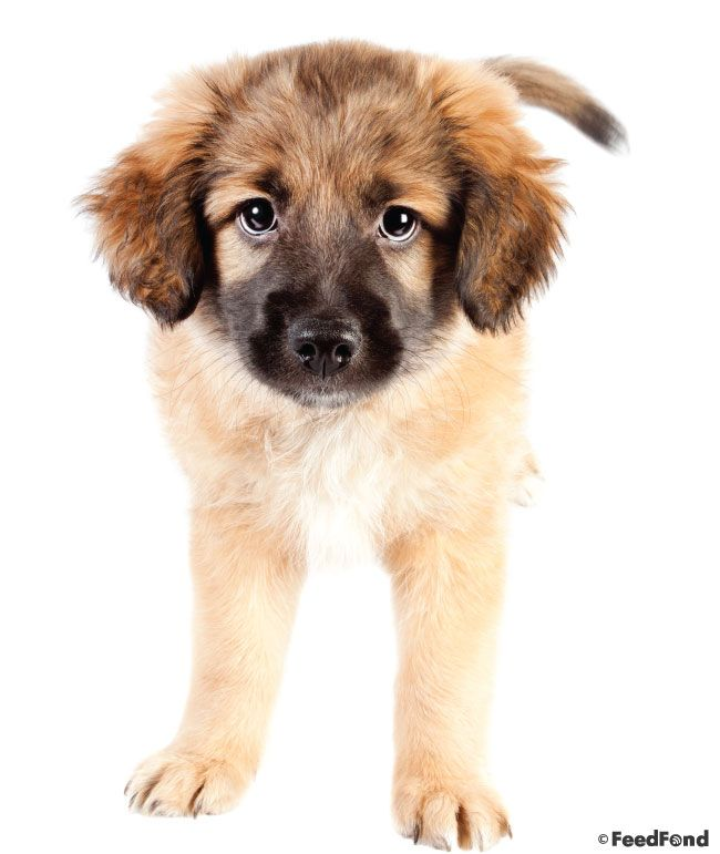 German Shepherd Golden Retriever Mix Dog Breed Guide For 2020