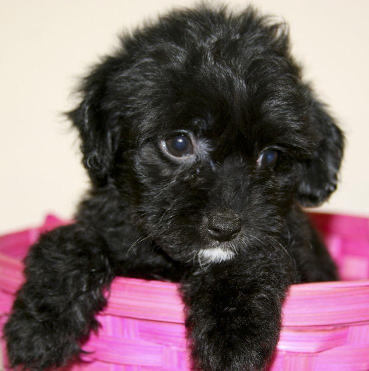 cute black yorkie poo. I really want one
