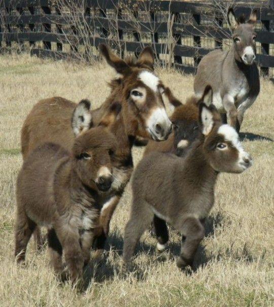 Cute Baby Miniature Donkeys