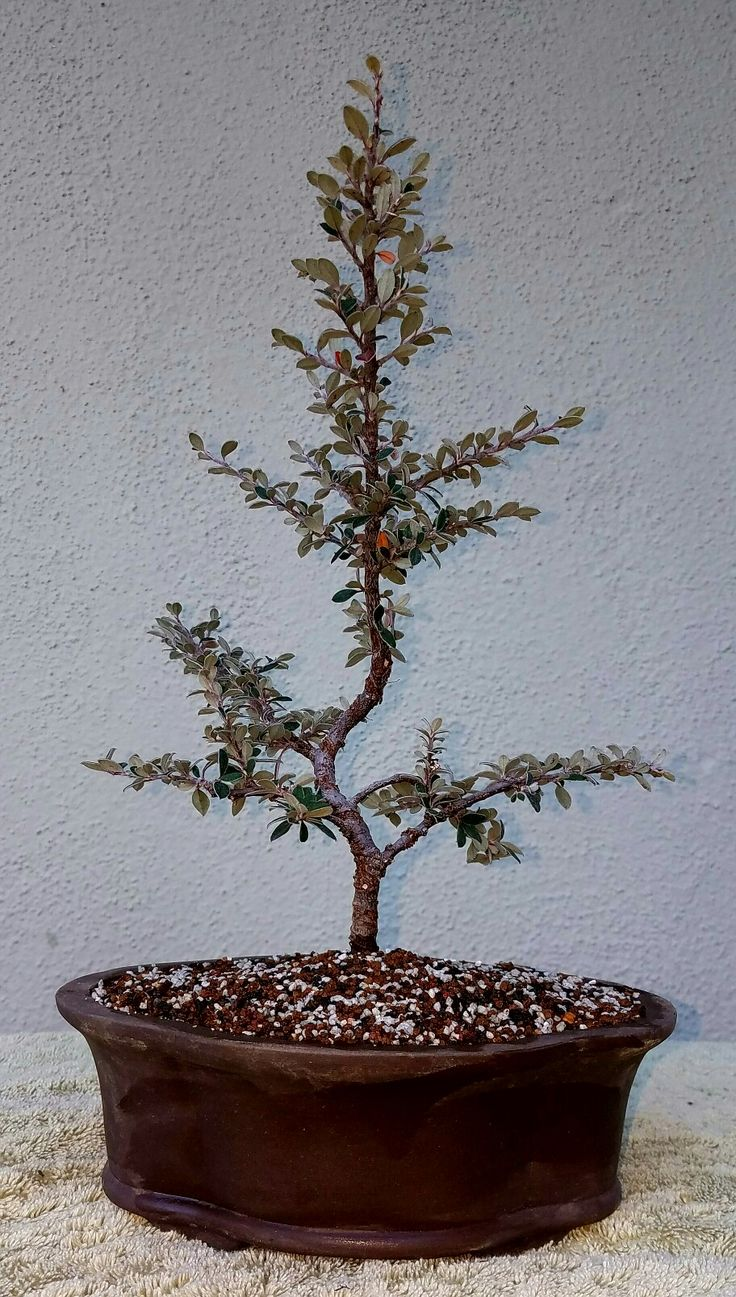 Yli Tuhat Ideaa Cotoneaster Bonsai Pinterestiss Bonsai