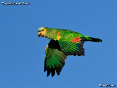 Turquoise-fronted or Blue-fronted Amazon Parrot | South ...
