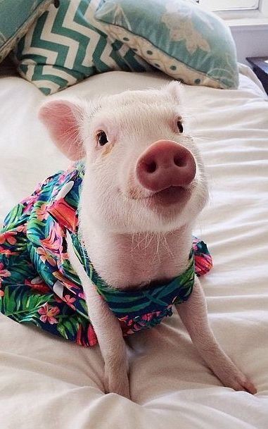 Best PERSONALITY PIGS Images On Pinterest Beautiful Mini - Adorable pig whos grown up with dogs believes shes a puppy too