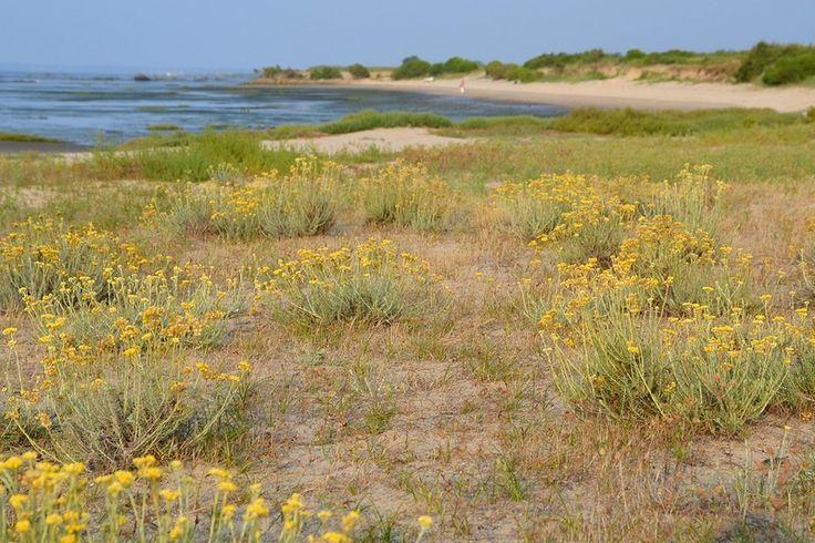 19 best bord de mer images on pinterest plants grass for Plante immortelle