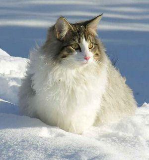 Noorse boskat » Kattenrassen - Alle kattenrassen