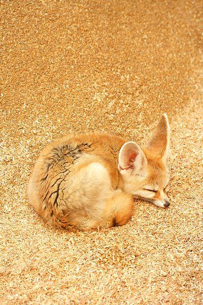 Thanks for the pin @Lara Horner! Looks just like Kitsu :)))))  golden fox   fennec fox ○ hanabi. on Flickr.