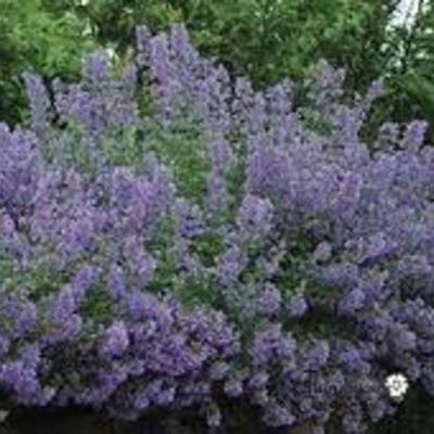 Nepeta racemosa 'Blue Wonder' Compacte versie van het kattenkruid met donkere bloemen. Het blad is aromatisch, zeker als je het tussen je vingers wrijft. Ideale vuller in je zonborder of als randbeplanting.. De gemiddelde hoogte is 40 cm. De bloemkleur is donkerpaars. De bloeiperiode is mei - juli.