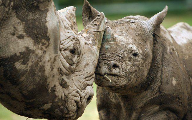 Rinoceronte negro ocidental é declarado extinto - Meio Ambiente - iG