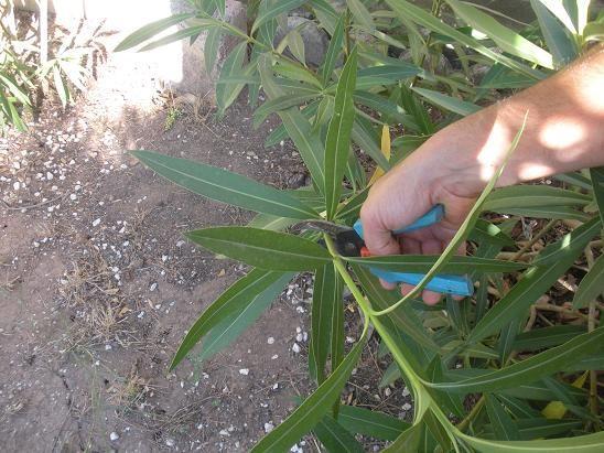 25+ melhores ideias de bouture laurier no pinterest | plantation