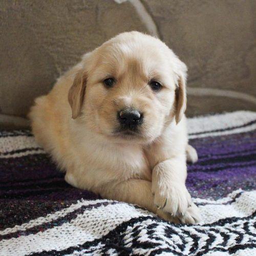 Lexi - AKC female Golden Retriever puppie for sale near