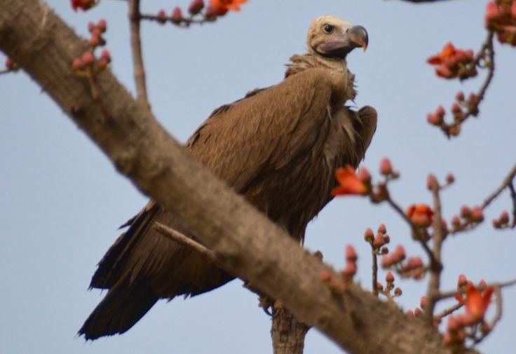 White-backed vulture in Gambia. #WhiteBackedVulture #HvidryggetGrib #Vulture #Grib #Gambia #SpiesRejser #HenryRasmussen