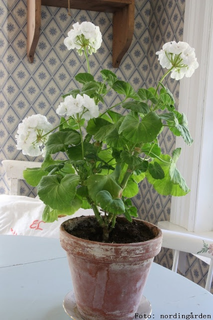 White geranium for the kitchen window