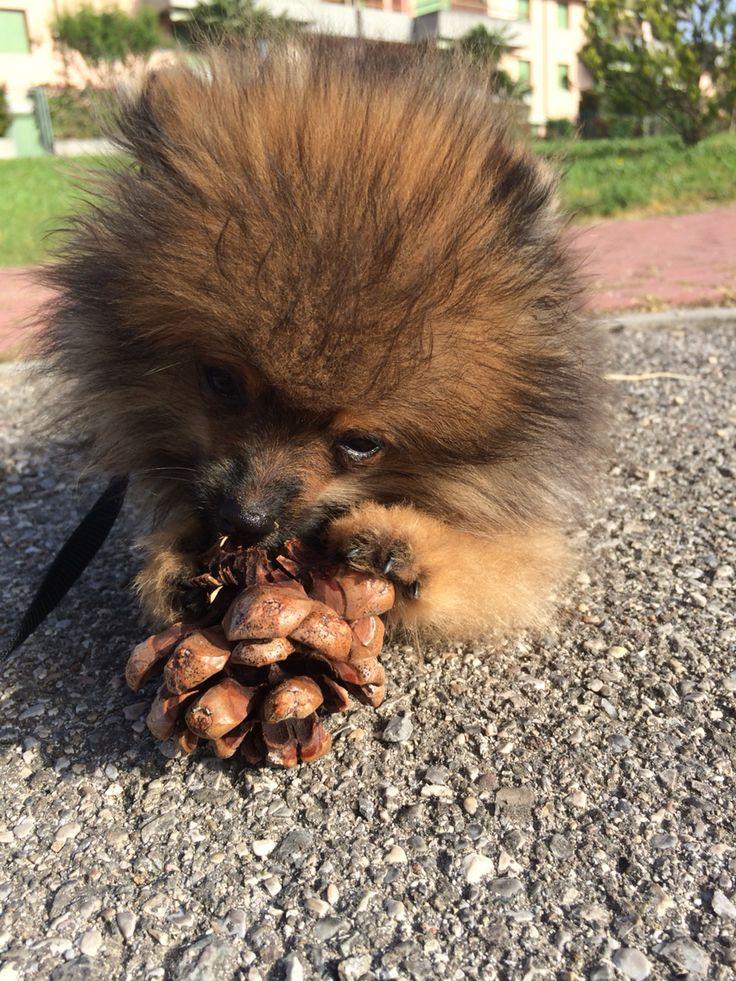 Pomeranian Zero Il Riccio