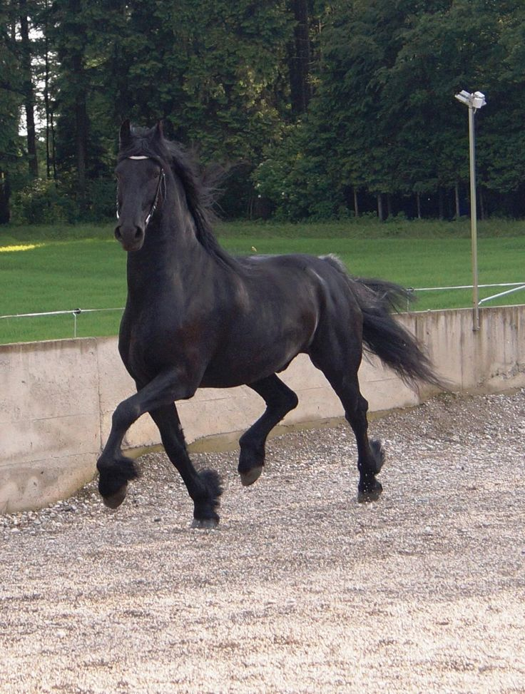 barockhengste.at - Verkaufspferde