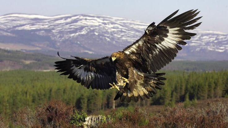 Golden eagle wings