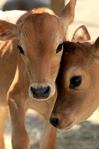 https://flic.kr/p/6MXqKQ | Calf cuteness attack | Summer (left) and Freedom (right) bond so cutely it leaves most people unconscious. That is the power of the bovine calf.  Both of these calves were rescued from a livestock auction where they would have been sold for veal or cheap dairy beef. They are male Jerseys, unwanted calves of the dairy industry. They never nursed off of their moms or bonded with them. Now, they have each other. Lucky.  www.animalplace.org