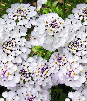 """Iberis 'Masterpiece® ' Deze groenblijvende soort bloeit onvermoeibaar vanaf het voorjaar tot in de herfst! De grote witte bloemen verschijnen in groten getale en veranderen uw tuinperk in een bloeiend bloemenbed. Gemakkelijk in het onderhoud en kan droogte verdragen. Winterhard. (Iberis Hybrid """"Masterpiece"""") Art.nr.: 2949 Levering grootte: 7x7 cm-pot"""