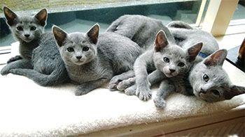 Blauwe rus kittens