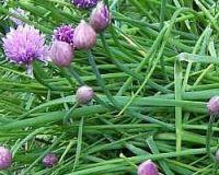Décoction de ciboulette contre les pucerons   La ciboulette est une plante aromatique très utile en cuisine mais elle le sera aussi au jardin biologique. Pour lutter contre les pucerons, faites une décoction, laissez là refroidir et vaporisez-la sur les plantes infectées. Effet garanti ! trucs et astuces du jardin bio page cinq