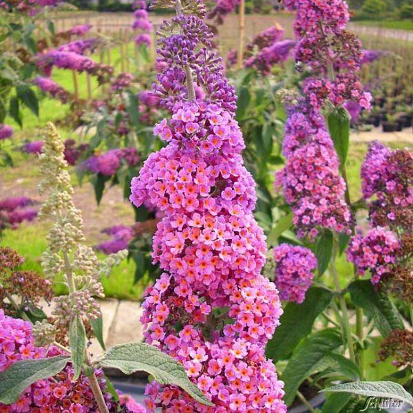Schmetterlingsflieder Flower Power Schmetterlingsflieder Pflanzen Flieder