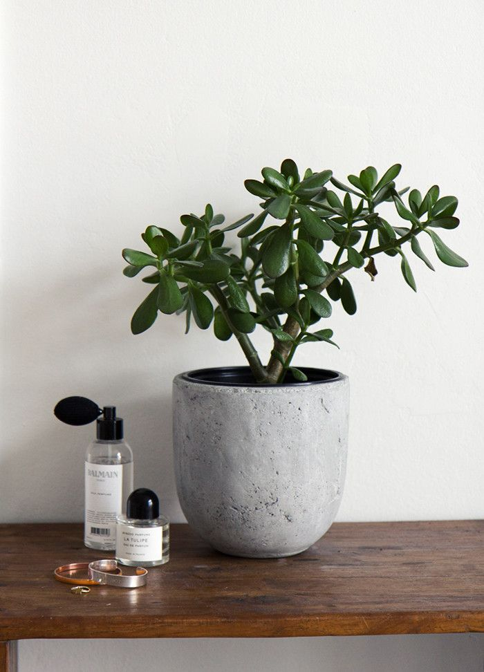 Jade tree a.k.a money tree, for good luck & fortune // pic: www.eevakolu.fi