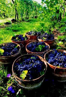 Saudades da vindima já! Mas em breve as uvinhas estarão prontas para mais uma rodada de colheita.