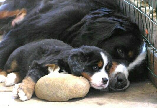 Beautiful mom and baby - Bernese Mountain Dogs