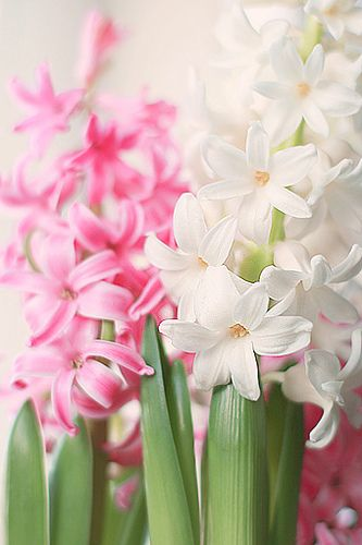 Flowers hyacinth