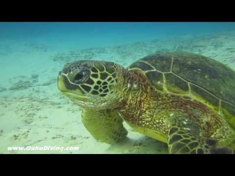 ▶ Hawaii Green Sea Turtle Eating - Cool Video - YouTube