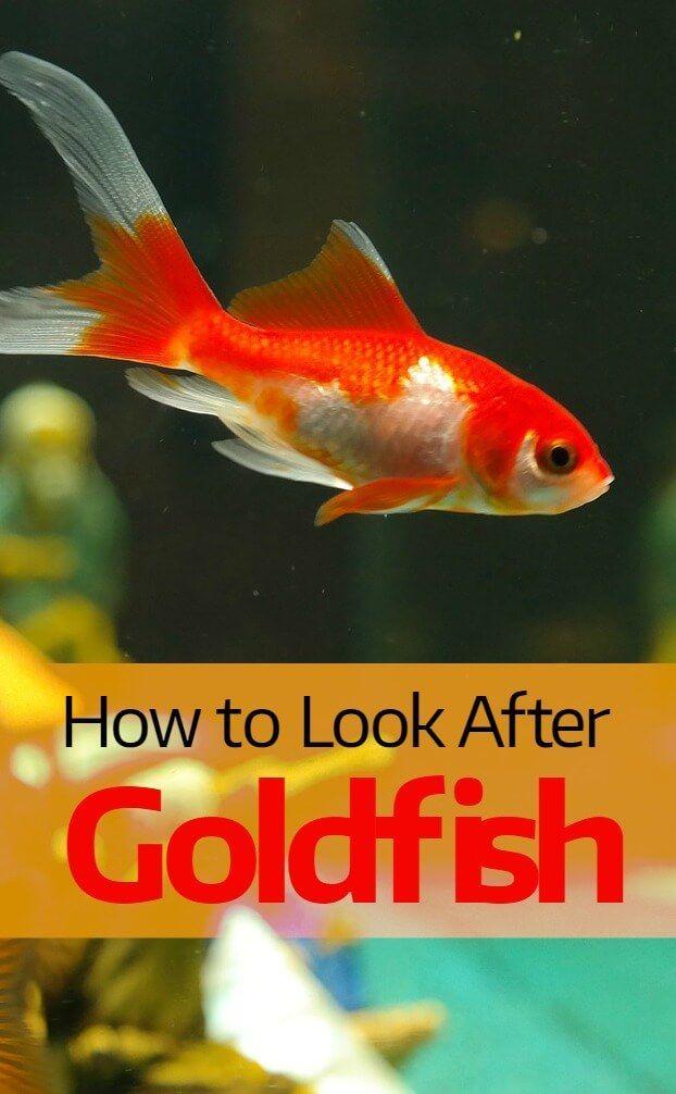 How To Look After A Goldfish Pbs Pet Travel Goldfish Pet Hacks Pet Travel