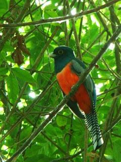 Surucuá-de-barriga-vermelha , Fauna Brasileira