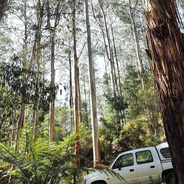 Check out the size of the trees in the Lake Elizabeth carpark! It really is a very special area of the otways and easily accessible from Geelong and Melbourne. Best of all once you finish the short walk to the lake or circuit hike you can finish with a be