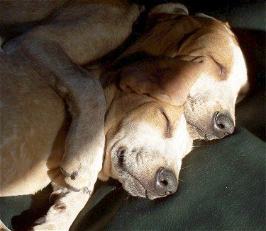 Redtick English Coonhounds puppies at 6 months old